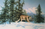 davidshepherd-mountainlion